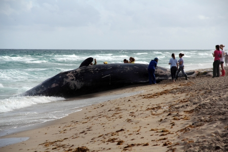 A deceased sperm whale that washed ashore awaits removal from a Boca Raton, Florida, beach on January 10, 2014