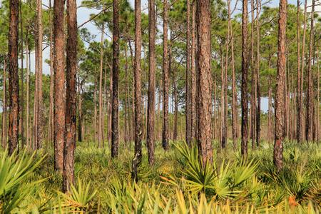 forest trail: PInelands in Jonathan Dickinson State Park, Jupiter, Florida