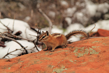 ardilla: Ardilla en el Parque Nacional Zion, Utah Suroeste