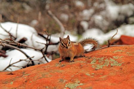 ardilla: Chipmunk en aterrizaje del ángel en el Parque Nacional de Zion, Utah Foto de archivo