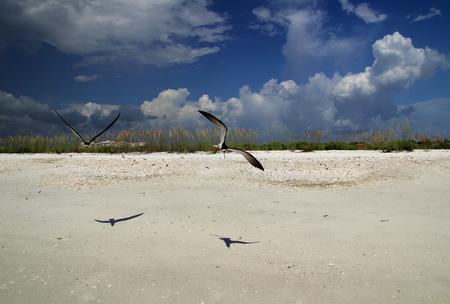 marco: Black Skimmers on Tigertail Beach in Marco Island, Florida Gulf Coast