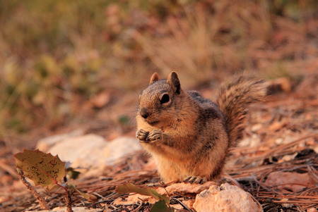 Golden-Mantled Ground Squirrel along the Navajo Trail in Bryce Canyon National Park, Utah