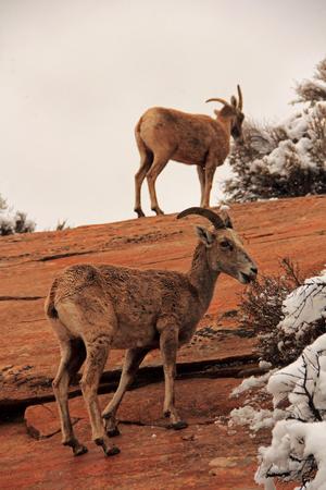 Desert Bighorn Sheep, Zion National Park