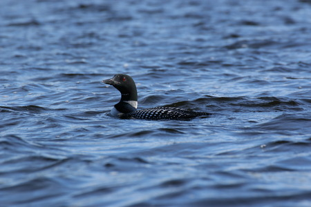 A specimen of Gavia immer (common loon) floats on a wavy lake