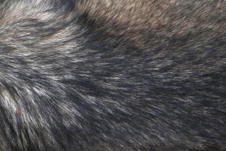 Fur of wolf .