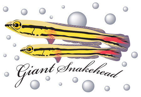 Giant snakehead fish with air bubble background. Illustration