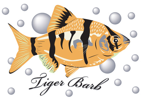 Tiger barb fish with air bubble background.