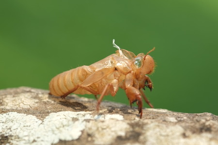 Cicada shell on tree, close up  photo