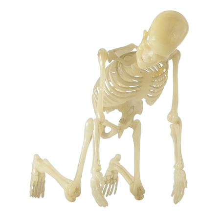 Human Skeleton on white background  photo