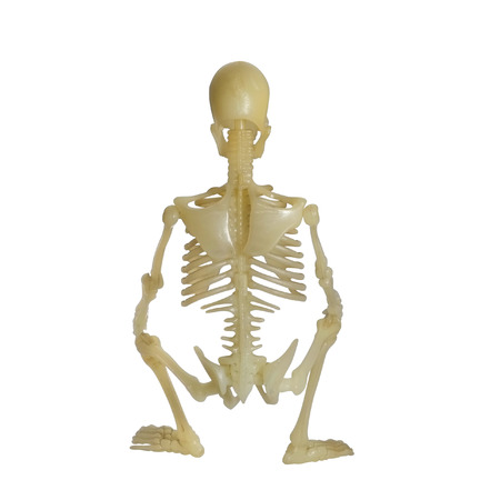 Human Skeleton on white background  photo