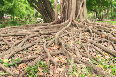 ficus: The roots of the ficus tree. Stock Photo