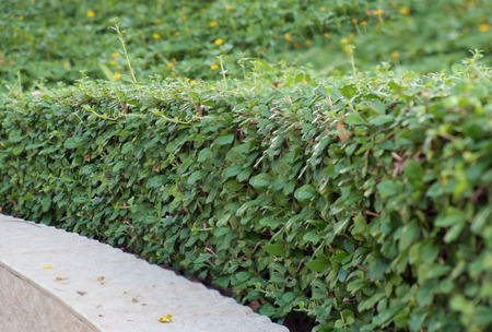 boxwood: View of ornamental boxwood in the garden. Stock Photo