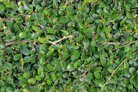 boxwood: Green leaf background of ornamental boxwood.
