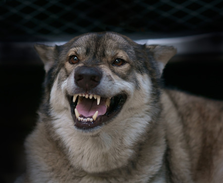 wolf face: Wolf angry in cage on dark background. Stock Photo