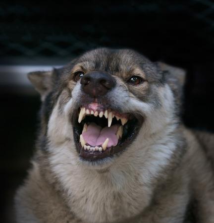 perro furioso: Lobo enojado en la jaula en el fondo oscuro.