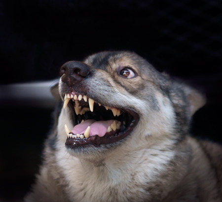 Wolf angry in cage on dark background. Focus on nose.