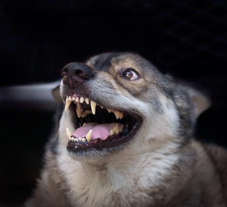 Wolf boos in kooi op een donkere achtergrond. Focus op de neus.