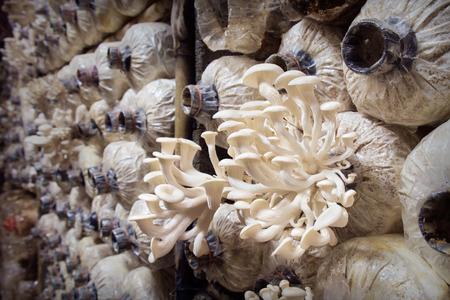 mushroom: El cultivo de hongos, que crecen en la granja. Foto de archivo