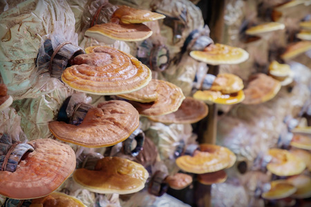cultivation: Mushroom cultivation, growing in farm. Stock Photo