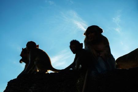 conglomeration: Portrait of monkeys,Lopburi, Thailand. (silhouate)