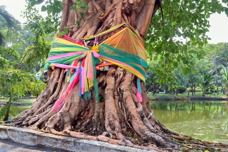 beliefs: Charmeuse wrapped around the Bodhi tree in the public park. Religious beliefs. Stock Photo