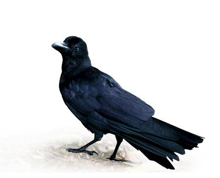 cuervo: Crow de pie sobre fondo blanco.