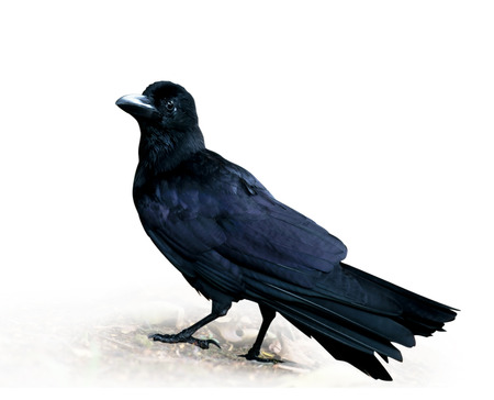 crow: Crow standing on white background.