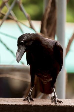 cuervo: Crow de pie en el fondo la naturaleza.