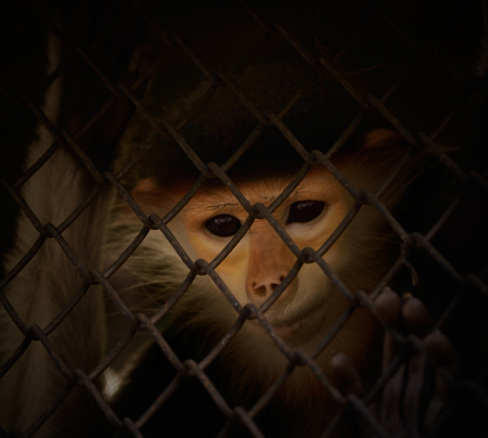 downcast: Monkey in cage with eyes downcast. The illegal wildlife trade problem. Focus on cage. Stock Photo