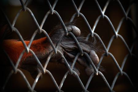 downcast: Close up hand of monkey in cage. The illegal wildlife trade problem.