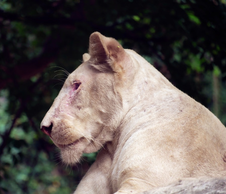 lioness: White lioness on nature background.