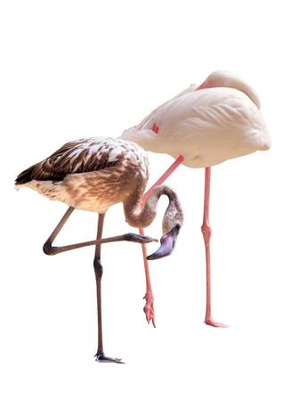 flamenco ave: Pájaro del flamenco que se coloca en el fondo blanco. Foto de archivo