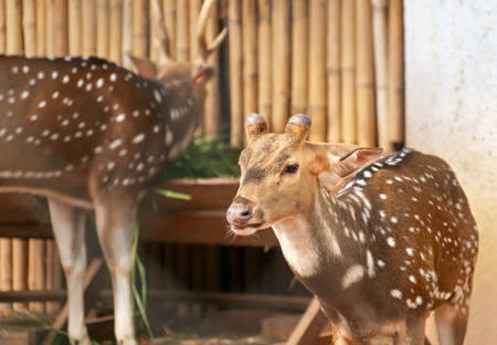 deer  spot: Portrait of Chital, Spotted deer in farm.