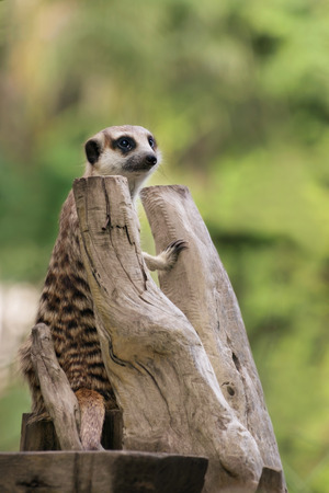 gregarious: Meerkat or Suricate, a small southern African mongoose, gregarious burrowing meerkat with dark bands on the back and a black-tipped tail.