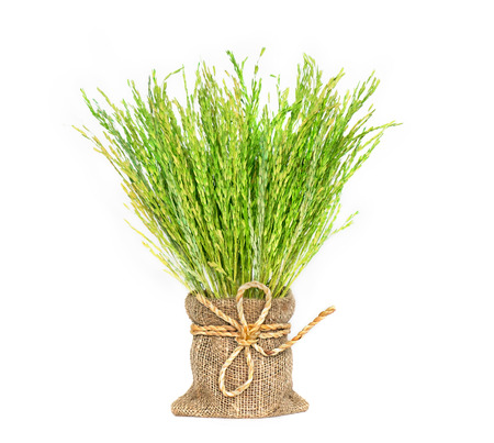 Rice spike decorated in mini sack on white background. Stock Photo