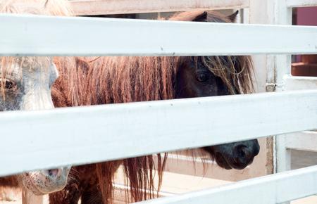 mini farm: View of dwarf horse in the farm.