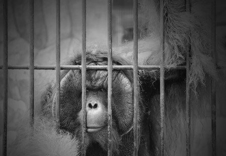 downcast: View of monkey in the cage. Black and white tone. The illegal wildlife trade problem. Stock Photo