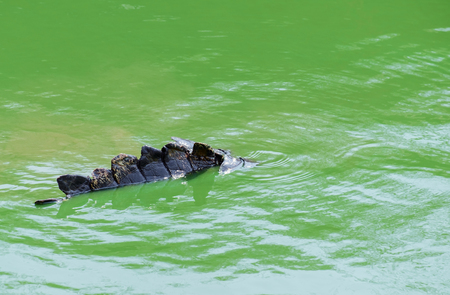 immersed: View of dangerous crocodiles immersed in the pool.