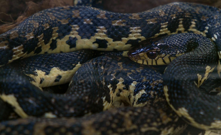 herpetology: View of colorful of snake. Shallow depth of field.