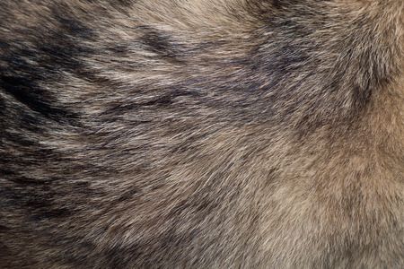 fuzz: Abstract texture background of fur of wolf.