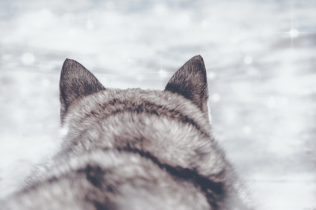 Portrait of wolf on snow background. Rear view. Digital retouch.