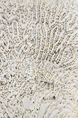 polyp corals: Abstract texture background of white coral.