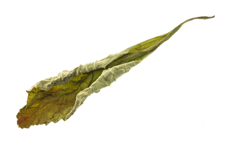 View of dry out leaf on white background. Stock Photo