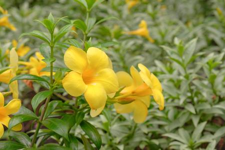 View of yellow flower in the garden, Golden trumpet , Allamanda , Banburi (Allamanda cathartica. Linn. : APOCYNACEAE).