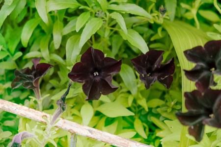 Petunia flower in the garden. (Petunia Hybrida.: Solanaceae) Stock Photo