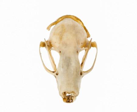 Bat skull head on white background.