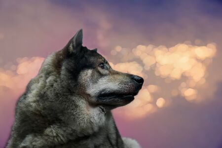 Portrait of wolf on twilight background, select focus on mouth. Digital retouch.