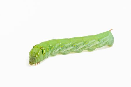 View of green worm on white background. Movement.