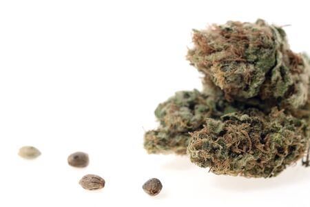 Close up of medical marijuana flower bud and seed on white background.