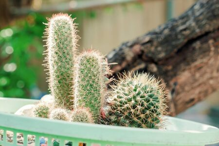 View of cactus in the garden, soft focus.